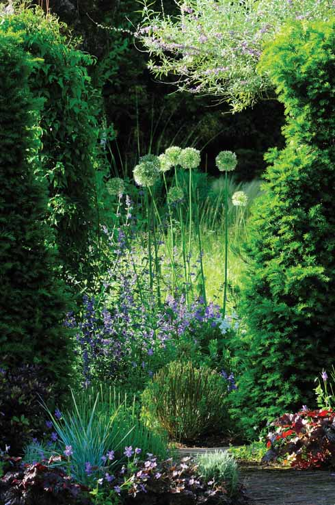 A gap in the hedge surrounds a clump of alliums. The buddleia alternifolia completes the picture.