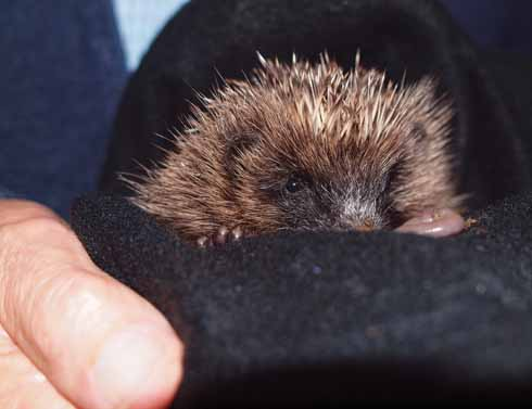 This photo shows Spike being held by my husband the morning after his arrival - complete with earthworm for breakfast. It also shows just how small he was.