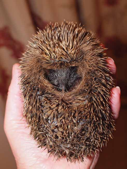 Hatty shortly after her arrival. Her spines were muddy and she was very cold