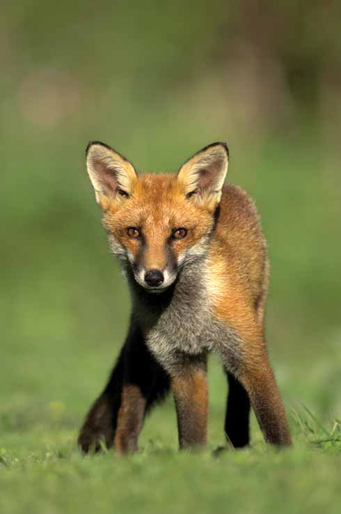 The fox can be seen as both scavenger and predator. It is an intelligent opportunist in both scenarios.