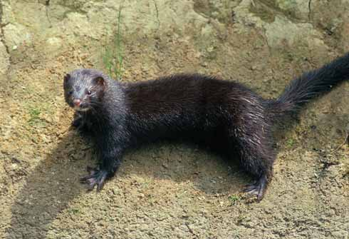 After a period where mink numbers rose and rose, the resurgence in the otter population has seen the frequency of mink sightings (and presumably numbers) fall in territories held by otters