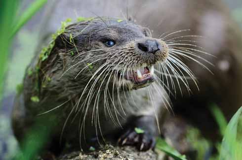 A clean-up of rivers, together with a ban on hunting has given the otter's population the chance to recover