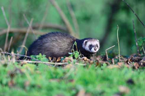 Once seen, never forgotten, the polecat. The white face, contrasting with the black mask make this a very distinct mammal.