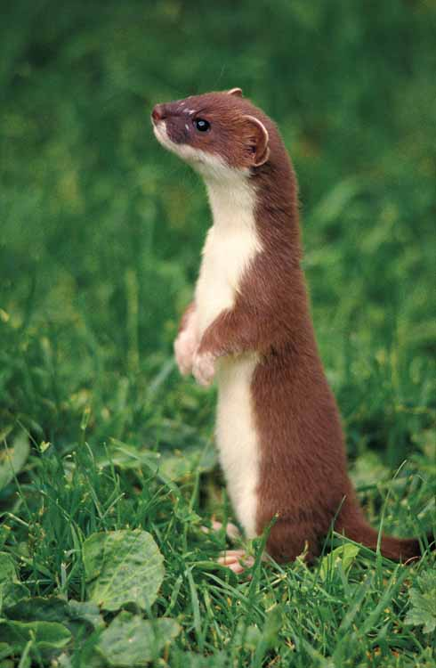 An immature stoat. Notice how the change in fur colour is not wavy as in the weasel