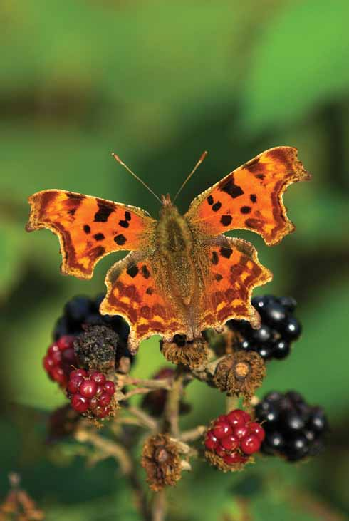 Comma butterflies typically rest on bramble bushes in September, where they sip the juices from over-ripe fruit