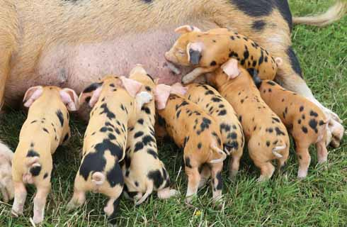 One of the very many aaaah moments at the County Show is when piglets are involved