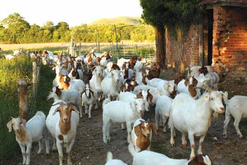 Goats at Bere Marsh Farm