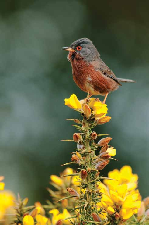 The Dartford warbler is one of the rare heathland creatures that Dorset is so lucky to host. By ensuring heath fires are spotted quickly and controlled, their long-term future is more certain.