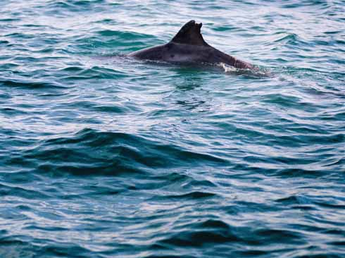'Clet', the much-travelled bottlenose dolphin, in Balaclava Bay, Portland is one of the larger animals that need protection in Dorset and on its water (Steve Belasco/www.jurassicphotographic.com)