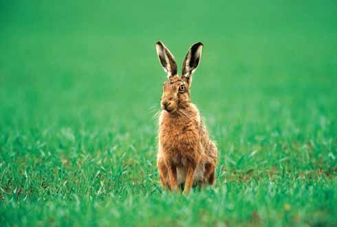 The brown hare habitually follows well-worn tracks or paths on arable farmland
