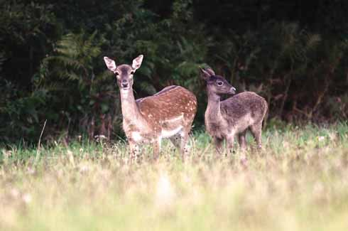 A recent photograph of a park fallow doe with her fawn, which, given its colouration, has obviously been sired by an Old English buck