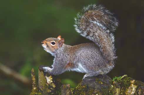 The grey squirrel plunders bird-feeding stations and can become very tame in suburban areas