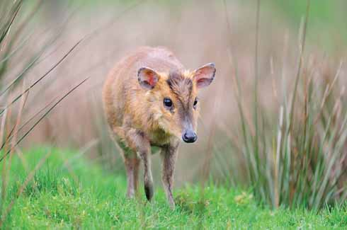 here are most likely far more muntjac in Dorset than we think, due to the difficulty of seeing them