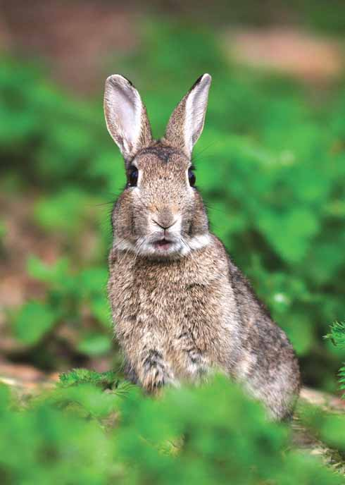 A young rabbit in alert posture
