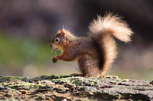 Red squirrels can be seen on Brownsea Island