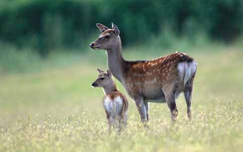 Sika typically can be seen at Arne where this hind and calf were photographed