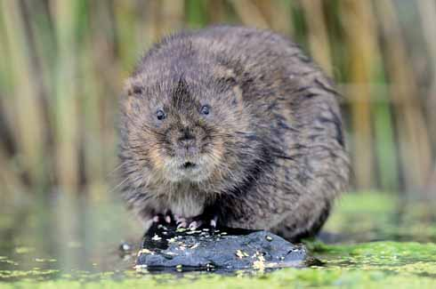 The resurgence of the otter appears to have caused a decline in mink numbers which hopefully may see the return of water voles