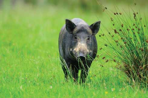 Although wild boar are seldom seen during daytime, there is plenty of evidence in the fields around west Dorset of churned-over turf and crops