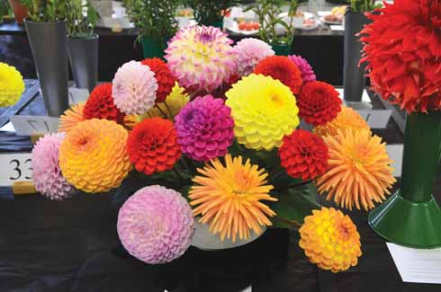 Dahlias on display at the Autumn show