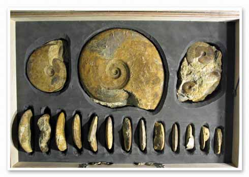 Beaminster Museum's ammonite box, which is available for loan to schools