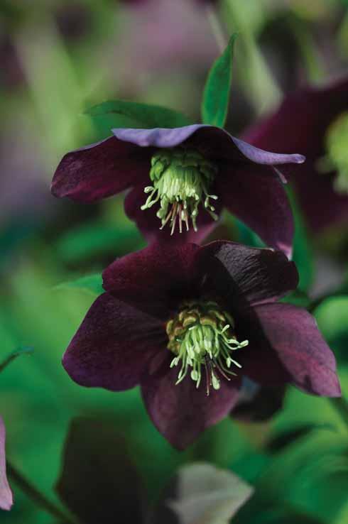 A stunning hellebore flower