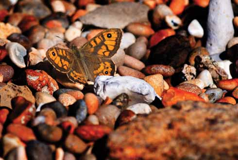 A wall butterfly – which gets its name from resting two-thirds open on any surface, chooses to warm itself on the pebbles on Chesil Beach near Abbotsbury