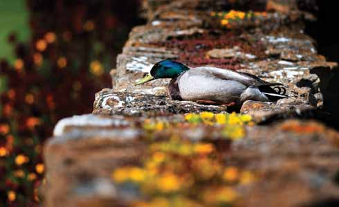 A mallard near Abbotsbury takes time out of his day to rest on a warm wall and keep out of the prevailing wind