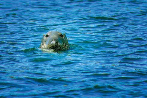 A grey seal bobs on the surface of the sea at Portland Bill