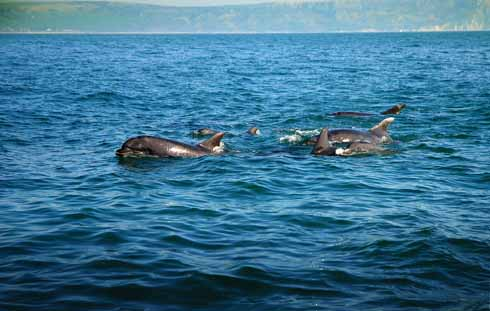 Bottlenose dolphins in Weymouth Bay. The clearly smaller juvenile dolphin is on the other side of the pod from the photographer's boat and sandwiched by older members of the group