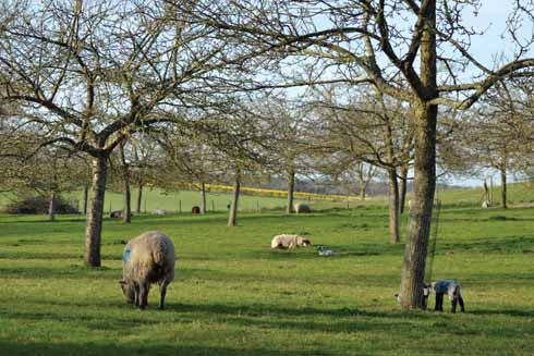Sheep and lambs grazing beneath the orchard's apple trees