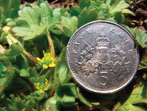 The aptly named small-flowered buttercup shown here with a 5p piece is one that is easy to miss.