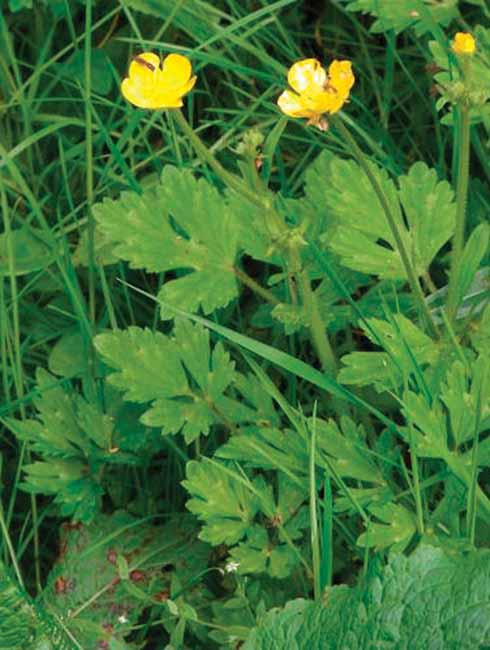 One of our commoner buttercups, creeping buttercup has a furrowed flower-stalk; leaves only slightly divided and often with pale markings; it is often low growing and spreads by runners surviving regular mowing.