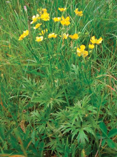 Meadow buttercup often grows taller with dark, more divided leaves and un-furrowed flower-stalks