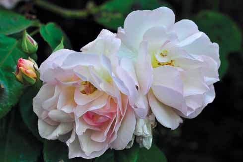 Rosa celsiana are fragrant, semi-double pink flowers that fade over time