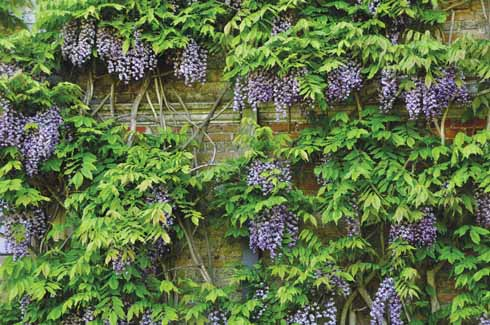A wisteria that is both in leaf and freely flowering