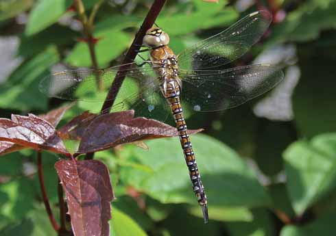 An immature female migrant hawker