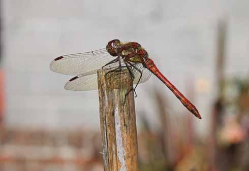Male common darter