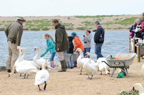 Feeding non-breeding swans. Swanherd Dave Wheeler is on  the left.