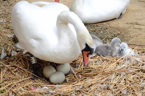New born cygnets and one about to hatch