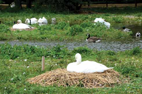 Swans decide where to build their nest