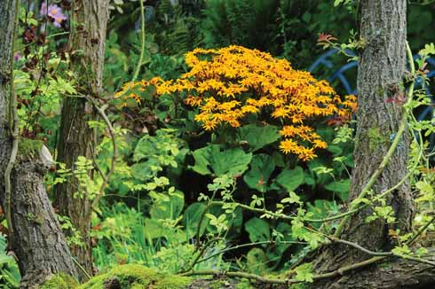 Ligularia nestles between the trees in the bog garden