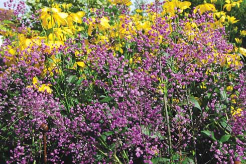 halictrum delavayi 'Hewitt's Double' is also known as Chinese meadow rue