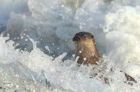 Just below the weir is a favoured place for otter spotters in Blandford as there is often some activity there. The Blandford otters are very often visible in daylight, rather than just at dawn and dusk
