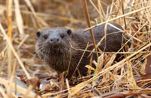 Although on the alert, Blandford's otters can – assuming the photographer has a decent lens – be captured in a candid way if, like Paul, one is prepared to wait quietly