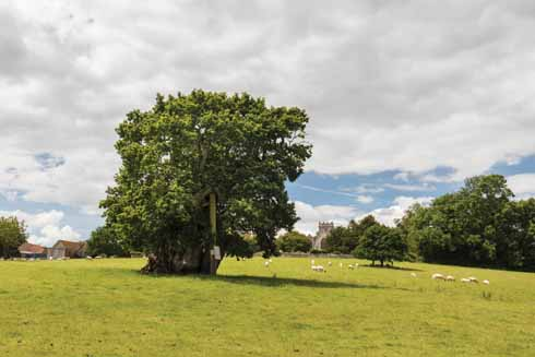 The massive and ancient oak tree known as Wyndham's Oak was big and interesting enough to have been the subject of an engraving in the 18th century and may well already have been 800 years old when that  image was created