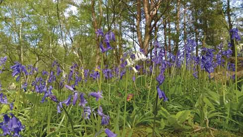 In May, there is a profusion of bluebells at Stephen's Castle