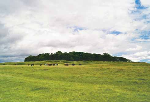 Badbury Rings and its lovely, calm Ruby Red Devon cows