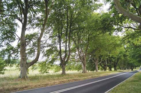 Beech Avenue at Badbury Rings near Kingston Lacy