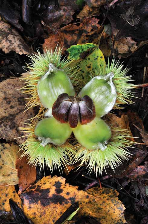 SWEET CHESTNUTS Castanea sativa