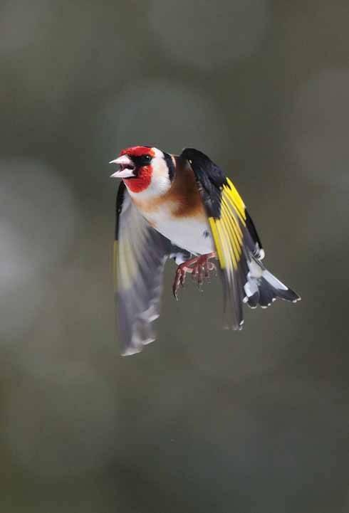 1216edcvwy_goldfinch-d9-3-80